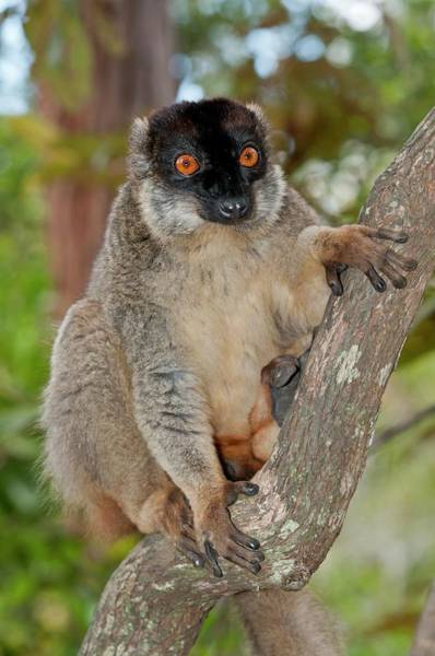 Lemurs Photograph - Common Brown Lemur by Tony Camacho/science Photo Library