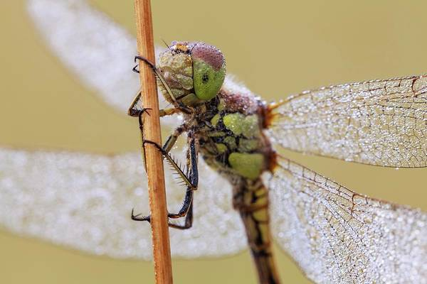 Arthropods Wall Art - Photograph - Common Darter Dragonfly by Heath Mcdonald