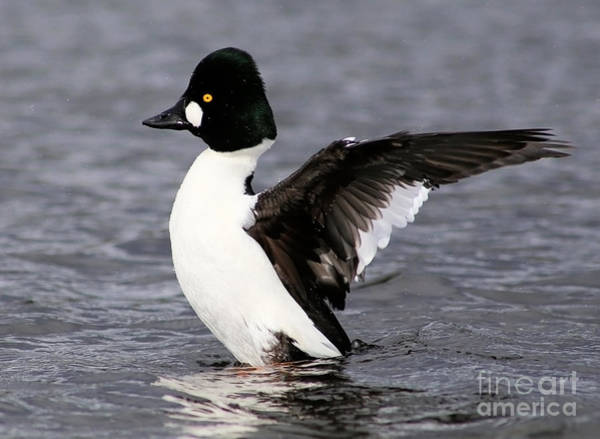 Photograph - Common Goldeneye Stretch by Sue Harper