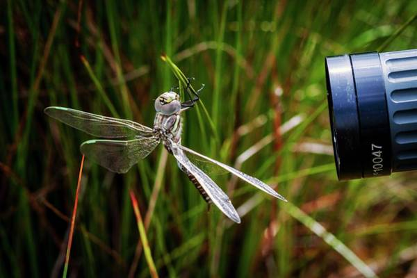 Moorland Photograph - Common Hawker Dragonfly by Paul Williams