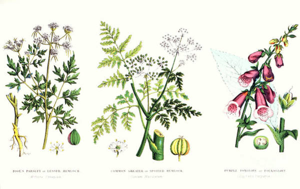 Botany Wall Art - Painting - Common Poisonous Plants by English School