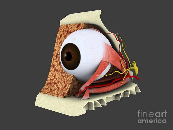 Digital Art - Conceptual Image Of Human Eye Anatomy by Stocktrek Images