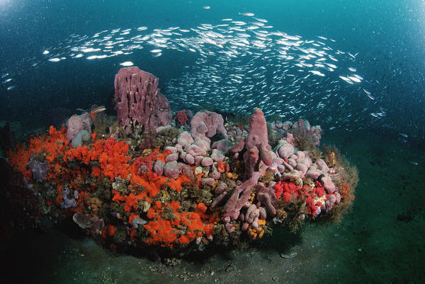Photograph - Coral And Schooling Fish Grays Reef Nms by Flip Nicklin