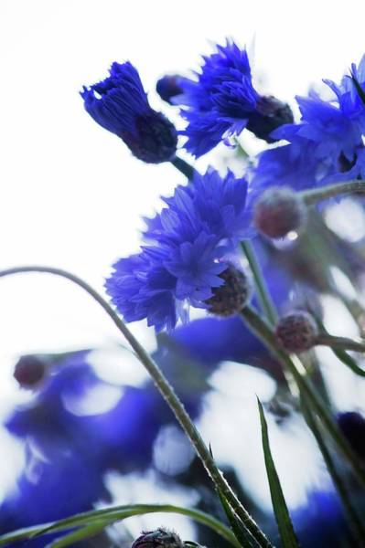 Cornflowers Photograph - Cornflowers (centaurea Cyanus) by Gustoimages/science Photo Library