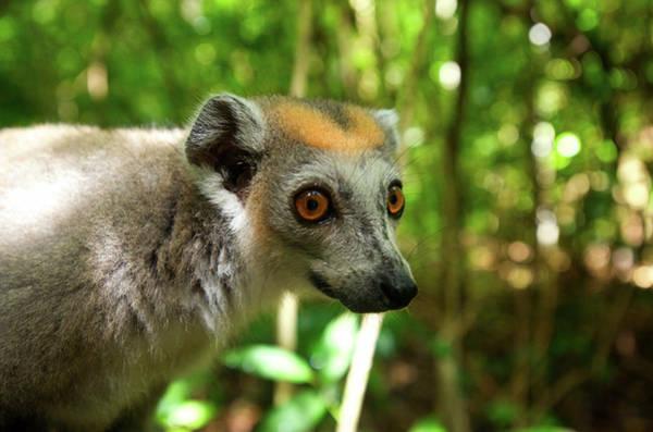 Raccoon Photograph - Crowned Lemur (eulemur Coronatus by Andres Morya Hinojosa