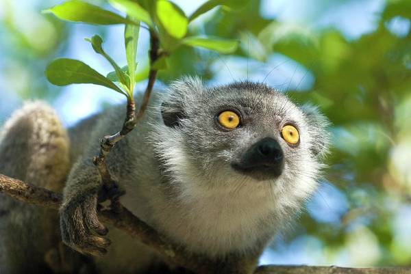 Lemur Wall Art - Photograph - Crowned Lemur by Philippe Psaila/science Photo Library