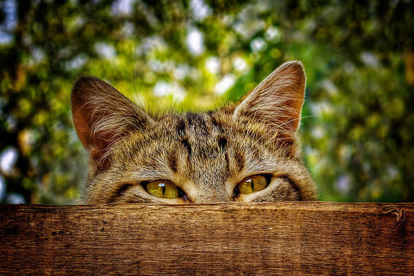 Photograph - Curious Cat by Barry O Carroll