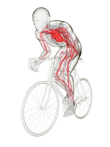 Wall Art - Photograph - Cyclist by Sciepro/science Photo Library