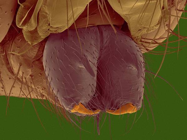 Daddy Long Legs Photograph - Daddy Longlegs Spider Fangs by Dennis Kunkel Microscopy/science Photo Library