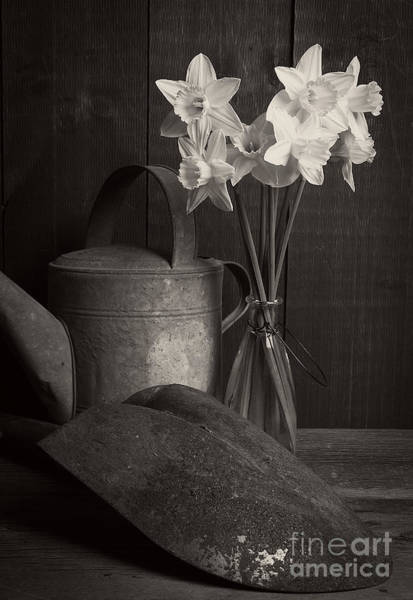 Black Narcissus Photograph - Daffodils by Edward Fielding