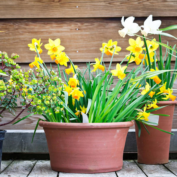 Wall Art - Photograph - Daffodils by Tom Gowanlock