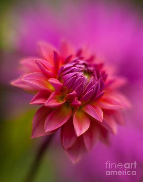 Soft Focus Photograph - Dahlia Burst by Mike Reid