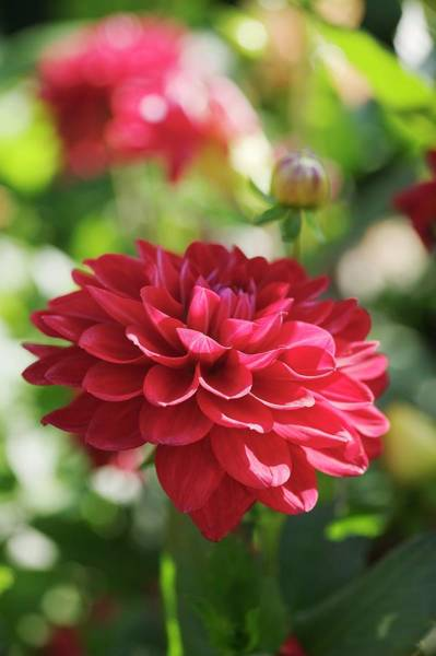 Perennial Photograph - Dahlia Flower (dahlia Sp.) by Gustoimages/science Photo Library