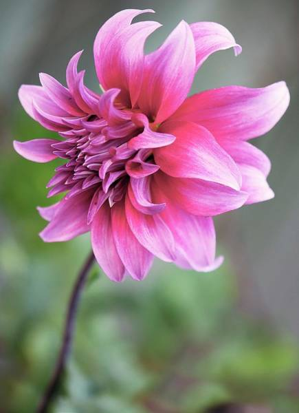 Asteraceae Wall Art - Photograph - Dahlia Flower by Maria Mosolova/science Photo Library