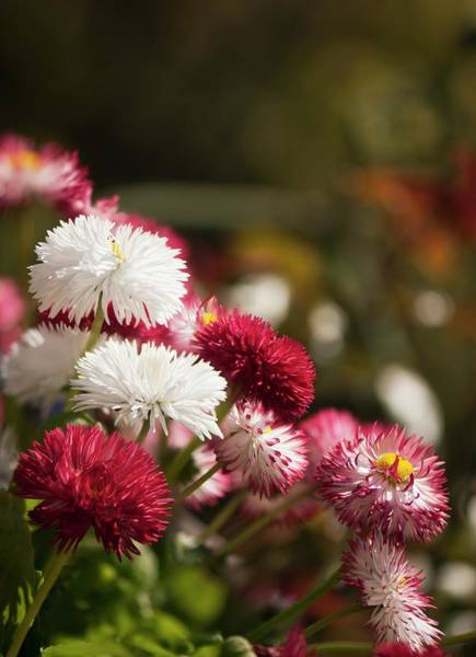 Asteraceae Photograph - Daisy (bellis Perennis) Flowers by Maria Mosolova/science Photo Library
