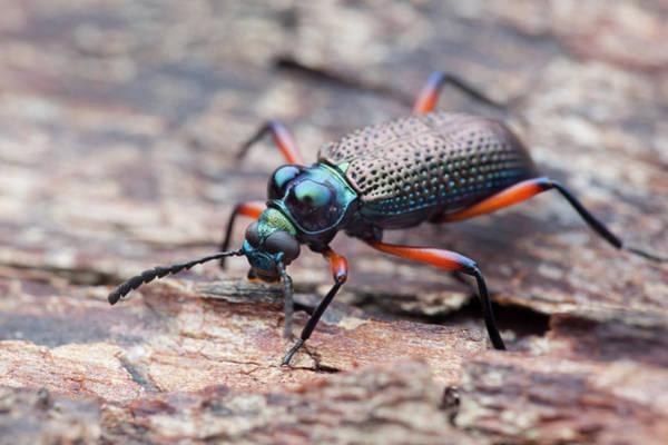 Tenebrionidae Wall Art - Photograph - Darkling Beetle by Melvyn Yeo