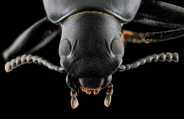 Tenebrionidae Wall Art - Photograph - Darkling Beetle by Us Geological Survey