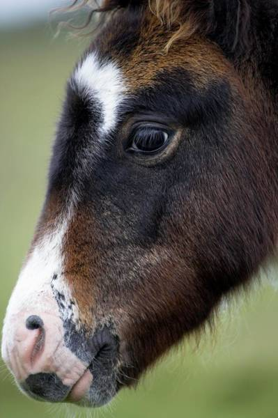 Moorland Photograph - Dartmoor Pony by Simon Booth/science Photo Library