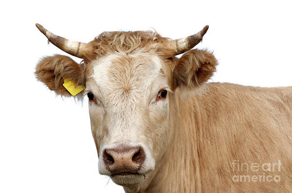 Wall Art - Photograph - Detail Of Cow Head by Michal Boubin