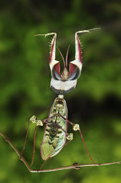 Defensive Photograph - Devils Praying Mantis In Defensive by Thomas Marent