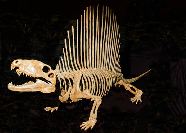 Photograph - Dimetrodon Skeleton by Millard H. Sharp
