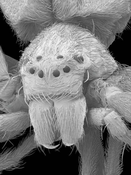 Diving Bell Photograph - Diving Bell Spider (argyroneta Aquatica) by Dennis Kunkel Microscopy/science Photo Library