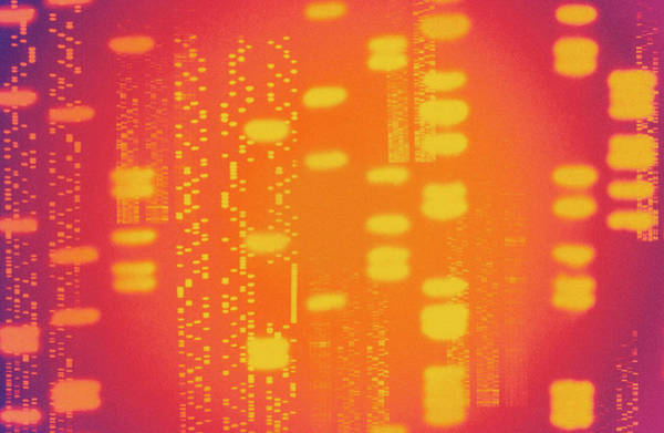 Genetic Code Photograph - Dna Autoradiograms by Alfred Pasieka/science Photo Library
