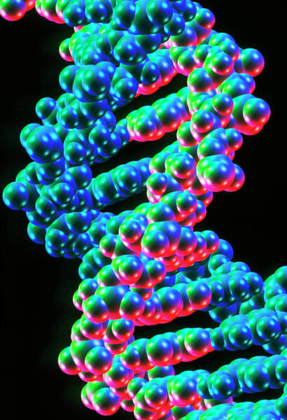 Double Helix Photograph - Dna Double Helix Structure by Alfred Pasieka/science Photo Library