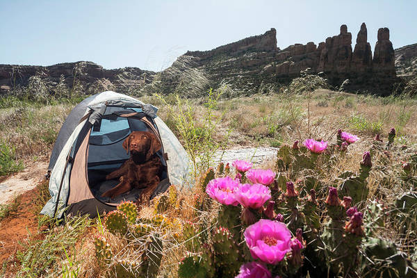Fruita Photograph - Dog In Tent Along The Colorado River by Kennan Harvey