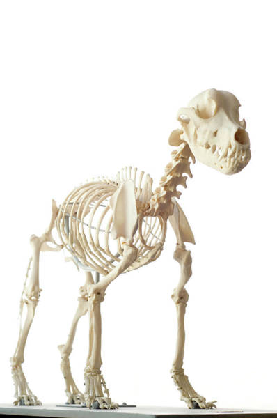 Wall Art - Photograph - Dog Skeleton by Daniel Sambraus/science Photo Library