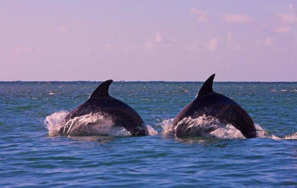 Roatan Photograph - Dolphins Leaping From Sea, Roatan by Keren Su