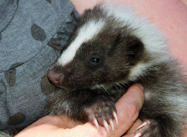Skunk Photograph - Domestic Striped Skunk by Nigel Downer