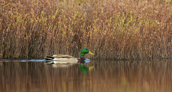 Wall Art - Photograph - Drake Mallard by Linda Arndt