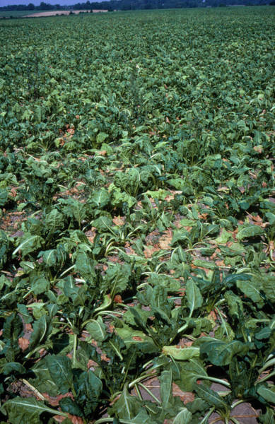 Wilt Photograph - Drought Stricken Sugar Beet by Dr Jeremy Burgess/science Photo Library