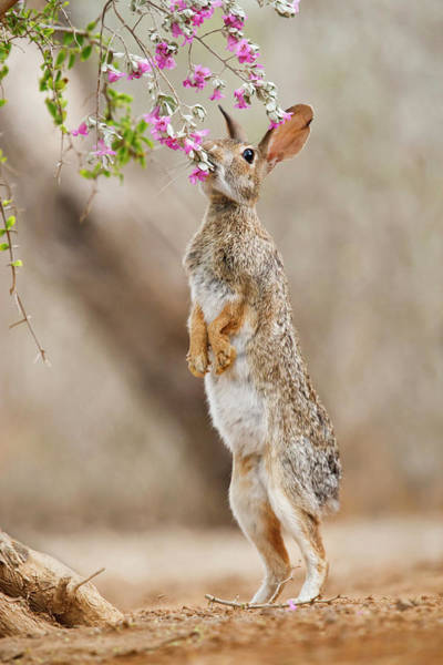 Sylvilagus Floridanus Photograph - Eastern Cottontail (sylvilagus by Larry Ditto