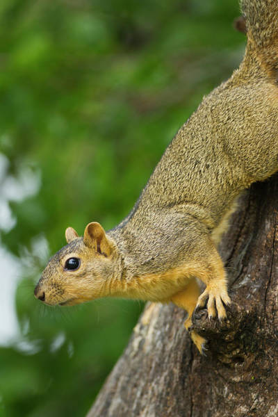 Comfort Photograph - Eastern Fox Squirrel (sciurus Niger by Larry Ditto