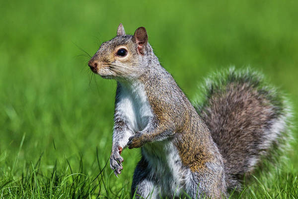 Wall Art - Photograph - Eastern Gray Squirrel by Linda Arndt