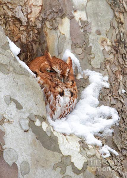 Joshua Clark Photograph - Eastern Screech Owl  by Joshua Clark