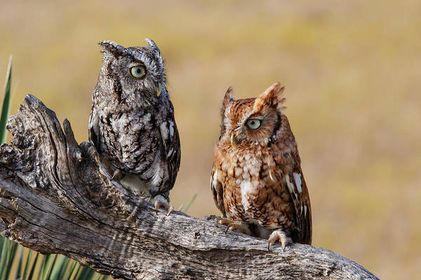 Screech Owl Photograph - Eastern Screech Owl, Otus Asio by Larry Ditto