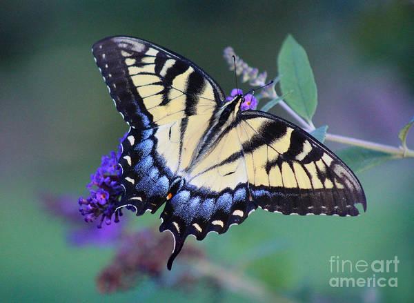 Eastern Tiger Swallowtail Butterfly On Butterfly Bush Art Print