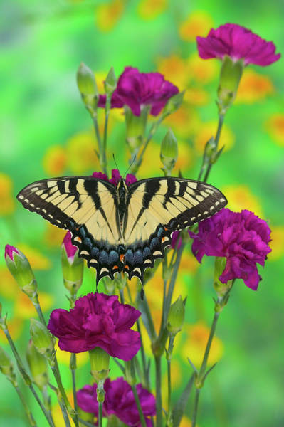 Carnation Photograph - Eastern Tiger Swallowtail Papilio by Darrell Gulin