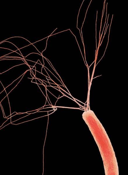 Escherichia Coli Photograph - E.coli Bacterium by Steve Gschmeissner