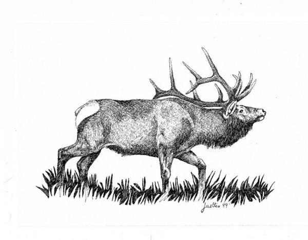 Bugling Drawing - Elk by Barbara Lightner