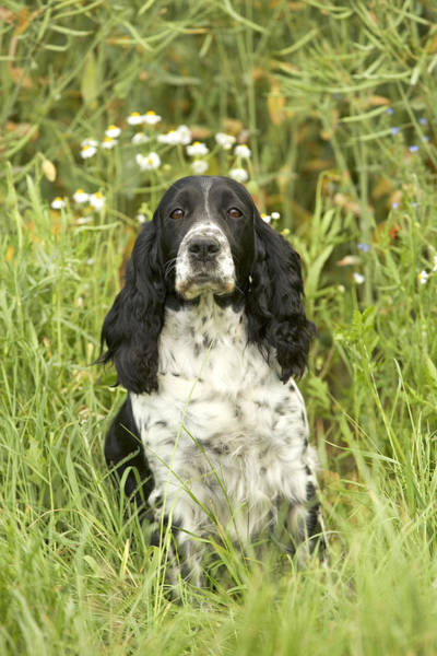 Spaniel Photograph - English Springer Spaniel by Jean-Michel Labat