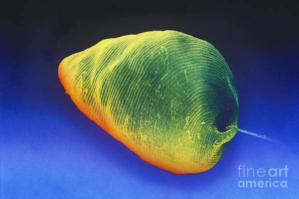 Photograph - Euglena Sem by David M Phillips