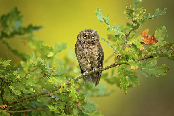 Branch Photograph - Eurasian Scops Owl by Milan Zygmunt