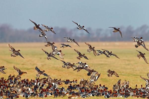 Anas Photograph - Eurasian Wigeons by Bildagentur-online/mcphoto-schaef