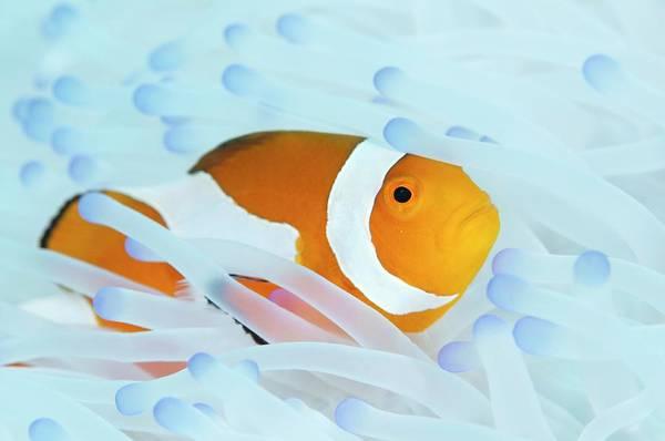 Clownfish Photograph - False Clown Anemonefish by Scubazoo/science Photo Library