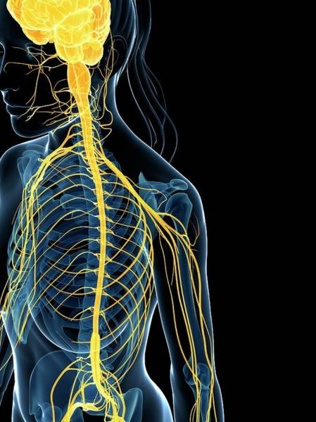 Nervous System Photograph - Female Nervous System by Sebastian Kaulitzki
