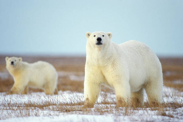 Polar Photograph - Female Polar Bear With Spring Cub by Steven J. Kazlowski / GHG